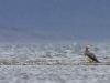 Patagoninė žvynuotoji antis