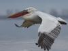 Garbanotasis pelikanas