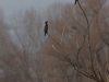 Mažasis kormoranas