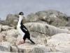 Mėlynakis kormoranas
