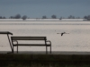 Paprastasis flamingas
