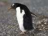 Papuasinis pingvinas