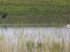 Rudasis ibisas