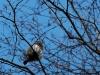 Žvirblinė pelėda